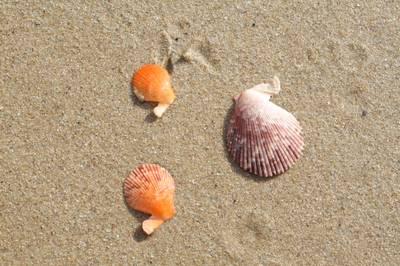 Chlamys varia.jpg
