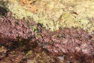 Corallina elongata.jpg