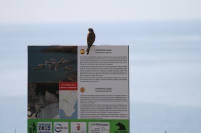 Falco tinnunculus.jpg