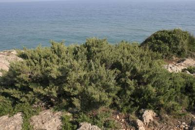 Juniperus phoenicea2.jpg