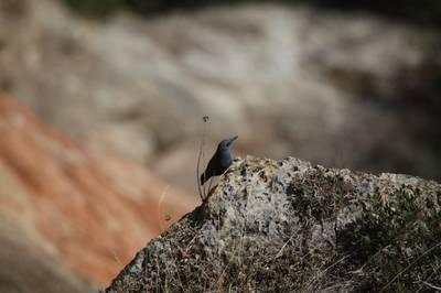 Monticola solitarius.JPG
